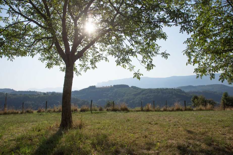 Biodiversite-arbre-noyer-eleveur-vaches-laitieres-grand-fermage