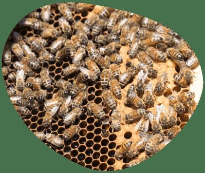 Bulle-le-saviez-vous-abeilles-biodiversite-grand-fermage