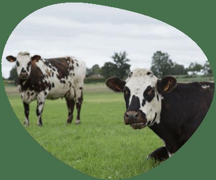 Bulle-le-saviez-vous-territoire-normandie-vaches-laitieres-grand-fermage