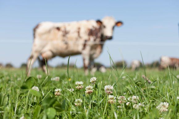 Territoire-centre-val-de-loire-biodiversite-trefles-vaches-laitieres-grand-fermage