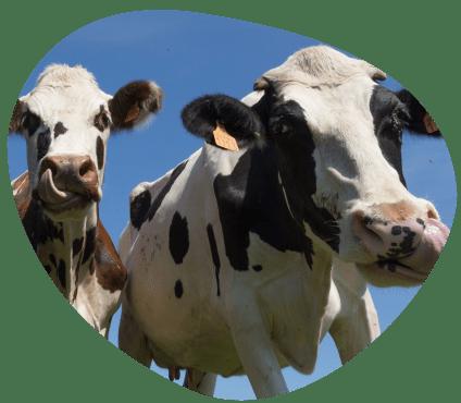 Territoire-centre-val-de-loire-le-saviez-vous-vaches-laitieres-et-chèvres-grand-fermage