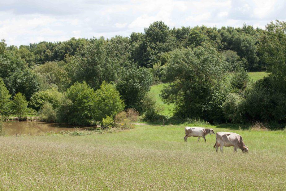 Territoire-pays-de-la-loire-vaches-laitieres-paturage-grand-fermage