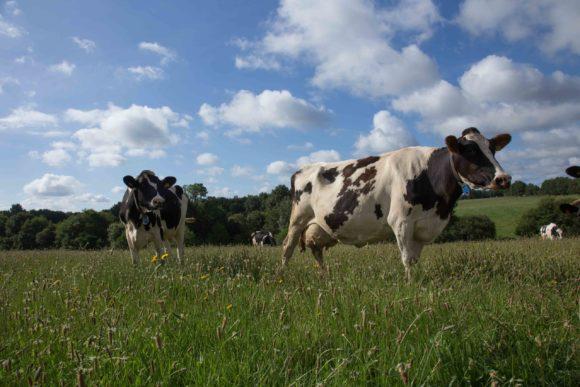 Territoire-pays-de-la-loire-vaches-laitieres-region-polyculture-elevage-grand-fermage