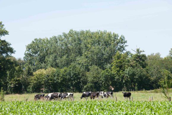 Territoire-poitou-charentes-climat-entre-terre-et-mer-vaches-laitieres-grand-fermage