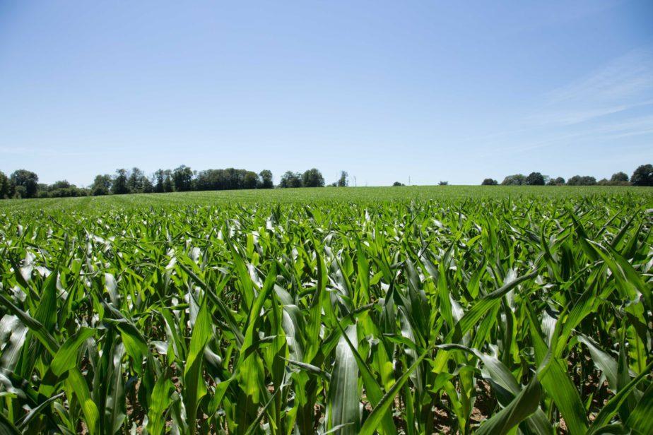 Territoire-poitou-charentes-maïs-terre-fertile-grand-fermage