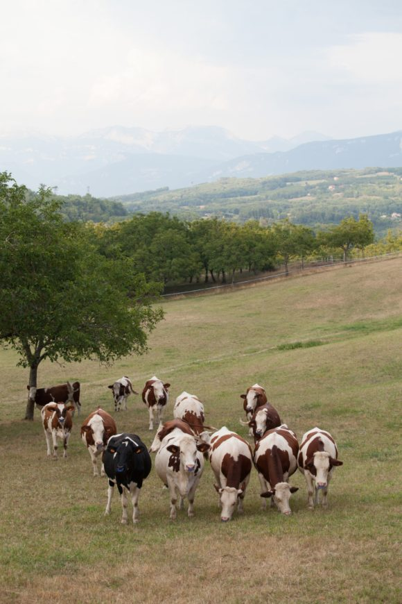 Territoire-rhone-alpes-eleveur-vaches-laitieres-temperature-grand-fermage