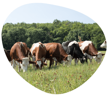 well-being-animal-feeding-weed-pasture-dairy-cows-grand-fermage
