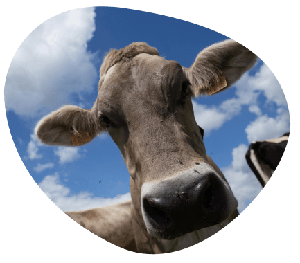 well-being-animal-commitments-cows-milk-milk-farming