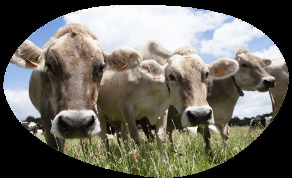 bulle-cooperative-vaches-laitieres-lait-francais-paturage-grand-fermage-nos-projets-et-partenariats