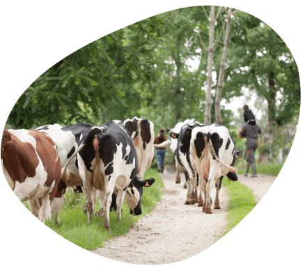 bulle-territoire-bretagne-vaches-laitieres-grand-fermage-paturage